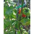 TOMTWIST Tomato Stake Medium