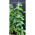 TOMTWIST Tomato Stake X-Large