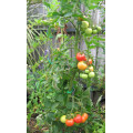 TOMTWIST Tomato Stake Large